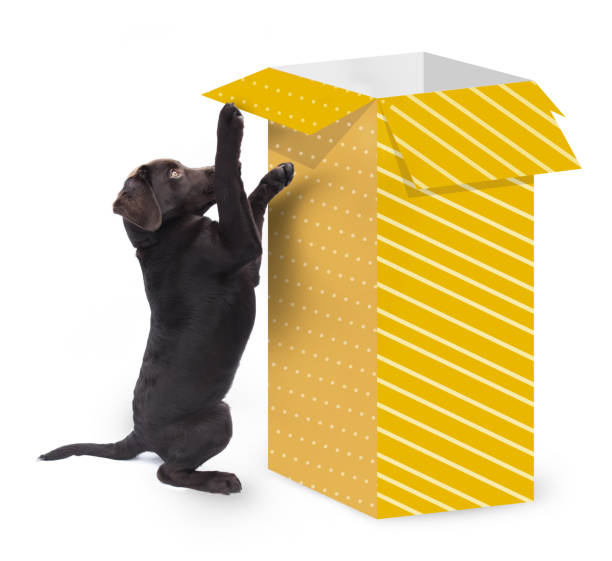 Cute curious dog jumps against a big present box with yellow striped paper isolated on white background stock photo