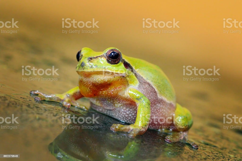 cute curious green tree frog stock photo