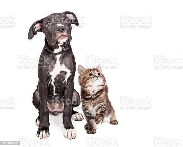Cute curious puppy and kitten looking up together picture id537506582?b=1&k=6&m=537506582&s=612x612&h=on eqp84df0uowlpr466e4i8u6 km9kgeon 5cgveb8=