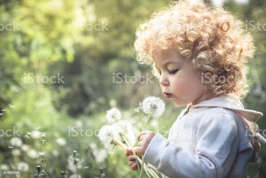 Cute curly child girl looking like dandelion blowing dandelion in summer park in sunny day with sunlight stock photo