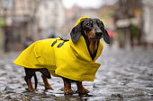 istock cute dachshund dog, black and tan, dressed in a yellow rain coat stands in a puddle on a city street 1206234208