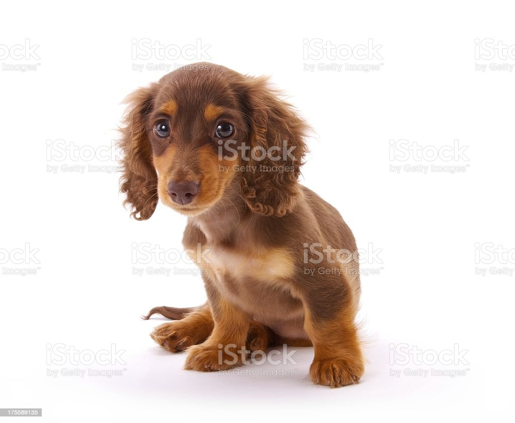 Cute Dachshund Puppy Stock Photo Download Image Now Istock
