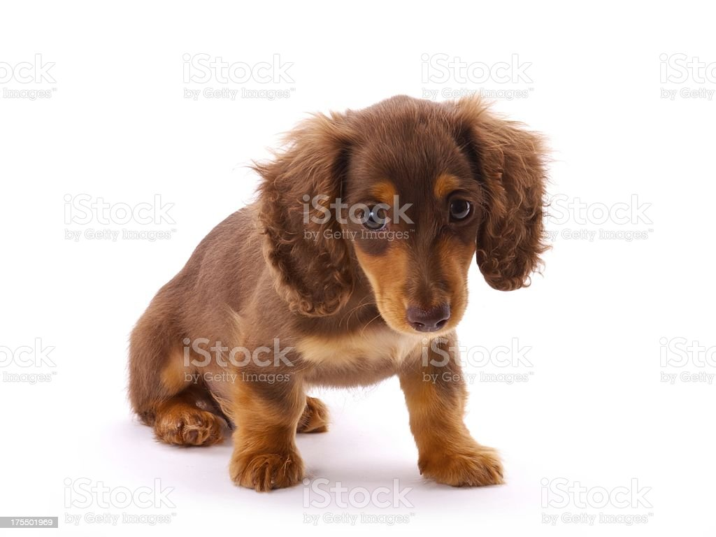 Cute Dachshund Puppy Sitting Stock Photo Download Image Now Istock