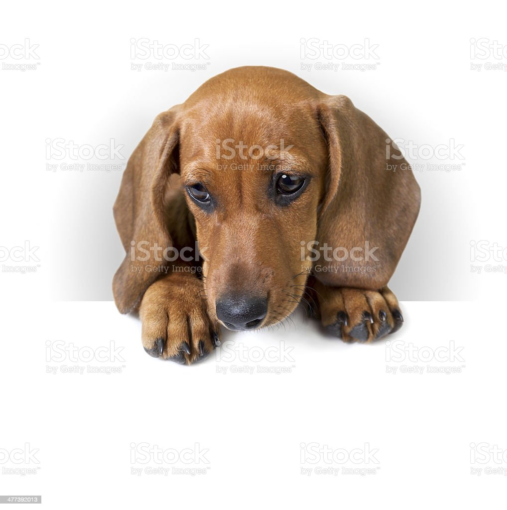Cute Dachshund Puppy With White Banner For Text Stock Photo Download Image Now Istock