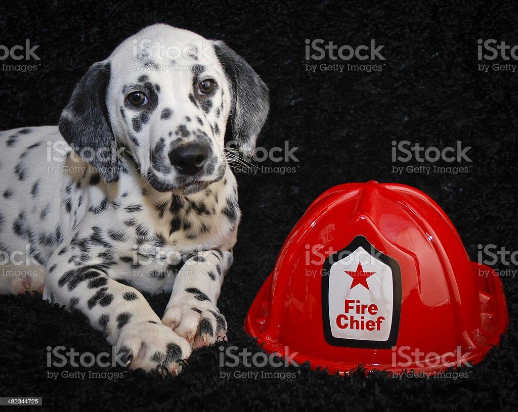 Cute  Dalmatia Puppy stock photo