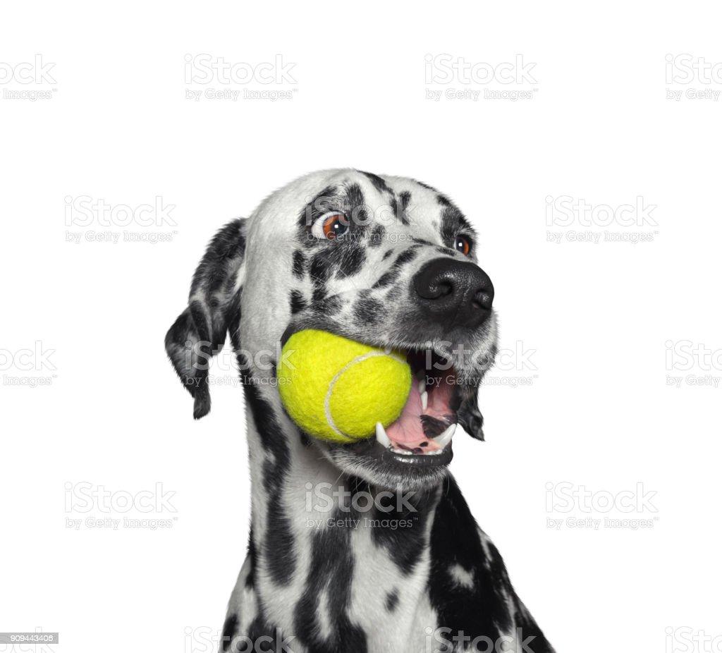 Chien Dalmatien mignon tenant une boule dans la bouche. Isolé sur blanc - Photo