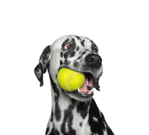 cute dalmatian dog holding a ball in the mouth. isolated on white - palla foto e immagini stock