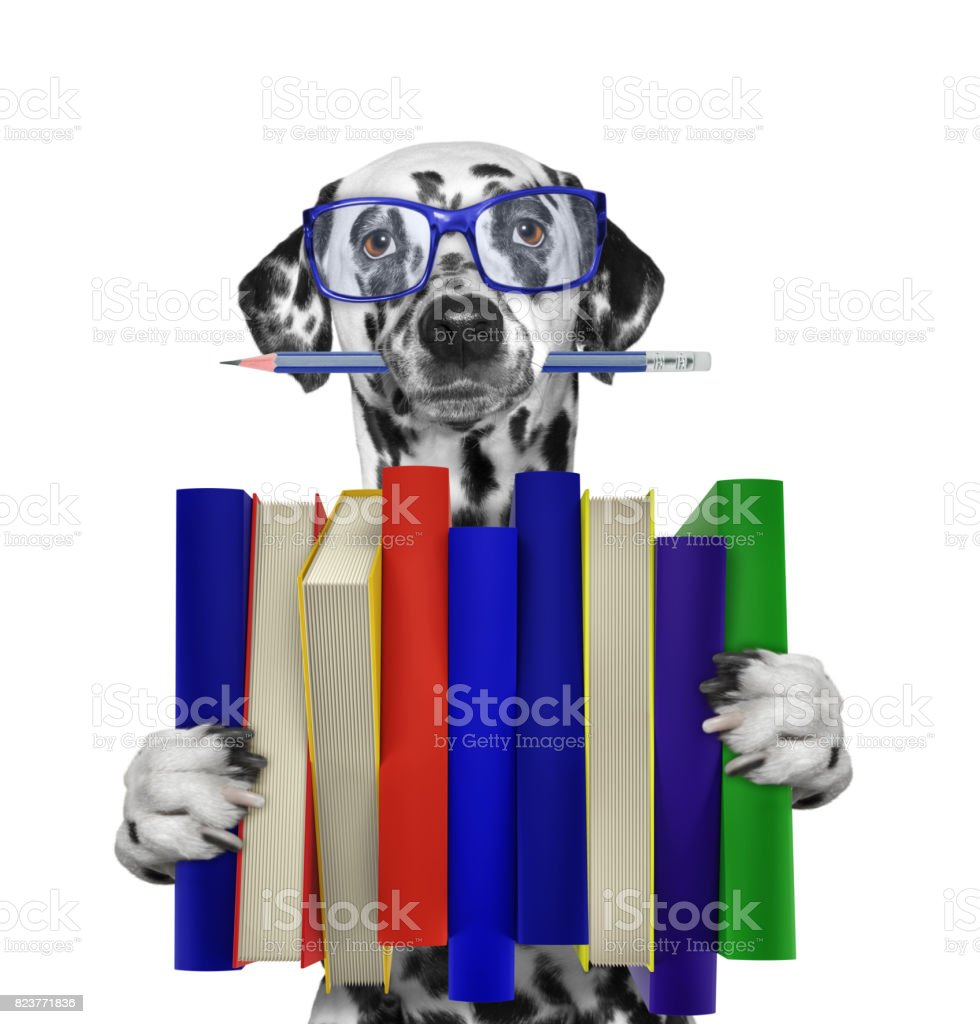 Cute dalmatian dog holding a big stack of books -- isolated on white stock photo