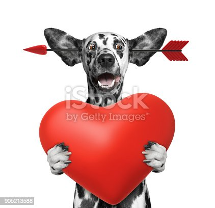 istock Cute dalmatian dog is falling in love on valentines day. Isolated on white 905213588