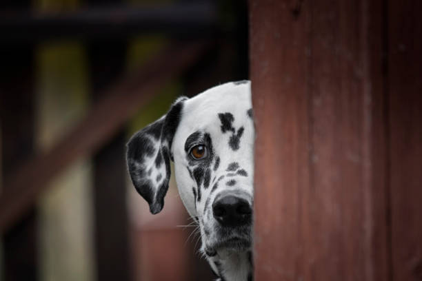 Cute dalmatian dog playing outdoor and hiding stock photo