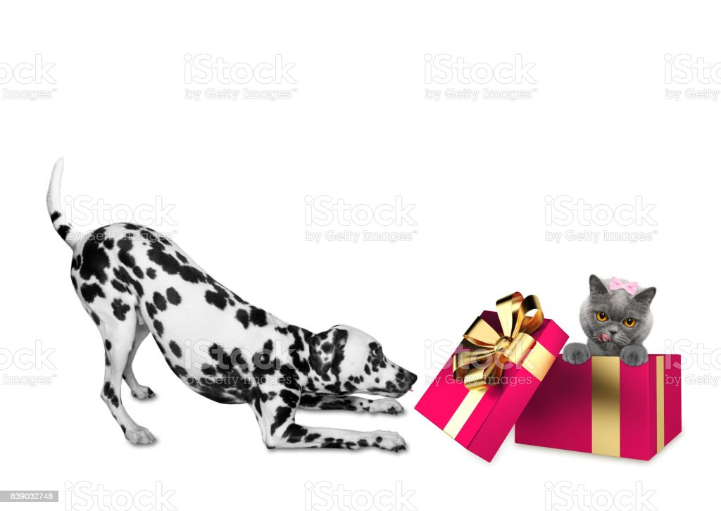Cute Dalmatian Dog Standing Near His Birthday Gift Box With Cat