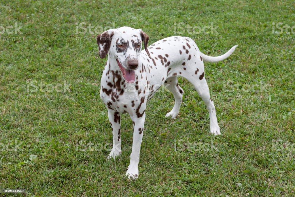 子犬 ダルメシアン