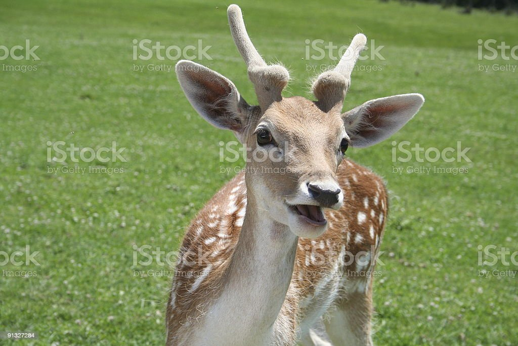 Cute deer with mouth open royalty-free stock photo