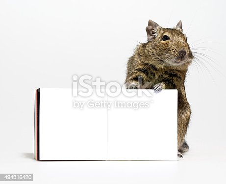 istock cute degu rodent with blank poster in paws 494316420