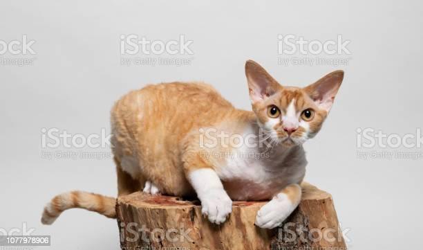 Cute devon rex cat lying on a tree stump picture id1077978906?b=1&k=6&m=1077978906&s=612x612&h=jdxvwil z  dmeb6kwpujafazptq7plvlgwpmx7kbu4=