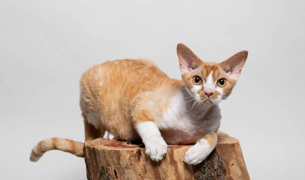 Cute devon rex cat lying on a tree stump picture id1077978906?b=1&k=6&m=1077978906&s=612x612&w=0&h=xmhzx54cxw oguktqjnwj3ubx1bornyqhjocdr3weh8=