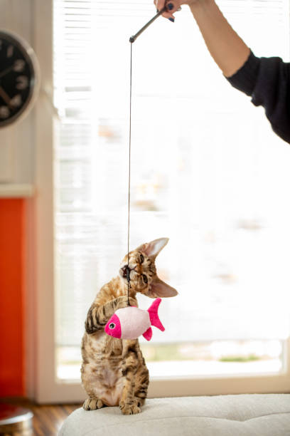 Cute devon rex kitten biting hanging cats toy picture id1220654169?b=1&k=6&m=1220654169&s=612x612&w=0&h=ni1scwvasmxxfdhxwinmlsza1469xooef wkzrqjh5a=