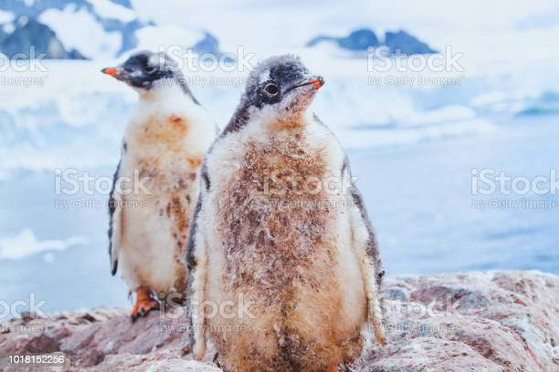 Cute dirty penguin chics in antarctica picture id1018152256?b=1&k=6&m=1018152256&s=612x612&h=lhypr4vf9tvidh0lsc5hviawvabenchdjf0vzzkolz0=