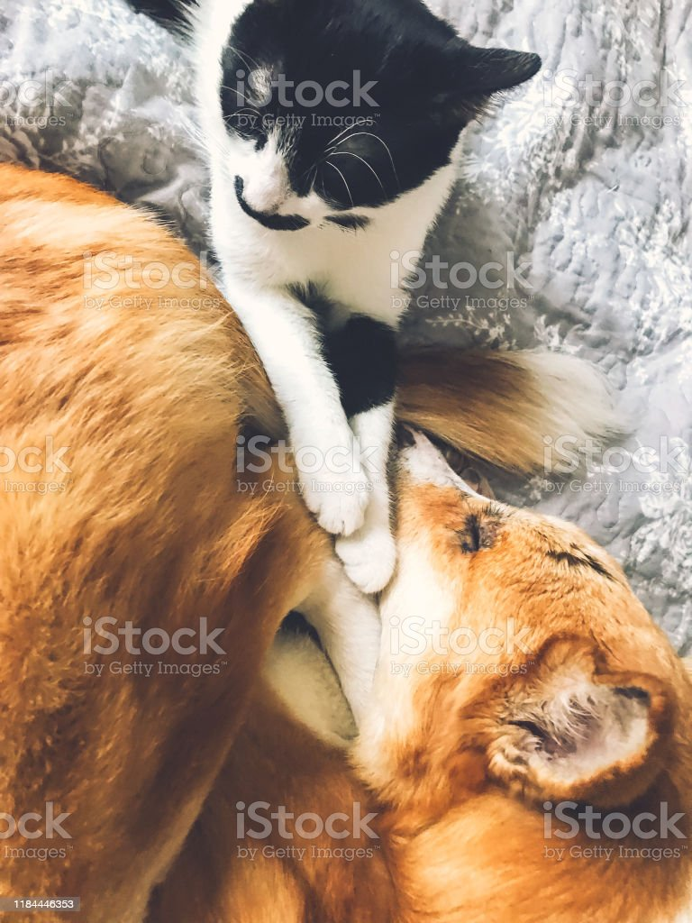 Cute Dog And Cat Sleeping Together On Bed Top View Adorable Golden Dog And Little Kitty Sleeping Together And Cuddling Cozy Comfortable Moment Phone Photo Stock Photo Download Image Now Istock