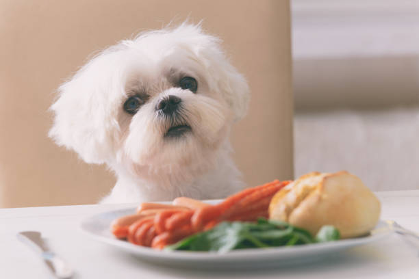 Cute dog asking for food Cute white dog Maltese sitting on a chair at the table and begging for food like sausage which is on a plate. pleading stock pictures, royalty-free photos & images