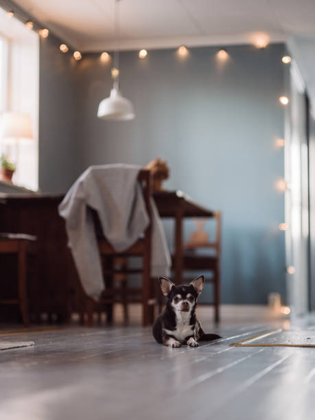 Cute dog at home Cute dog at home Photo of pet cat in home setting Natural light canid photo short haired chihuahua stock pictures, royalty-free photos & images