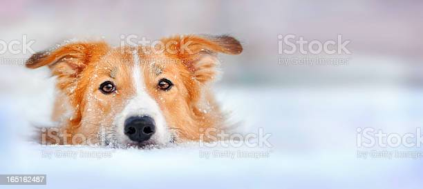 Cute dog border collie lying in the snow picture id165162487?b=1&k=6&m=165162487&s=612x612&h=wjmnjcqx sbpfmnqgcf2suj9in7auxpbgjlzzr9cb7y=