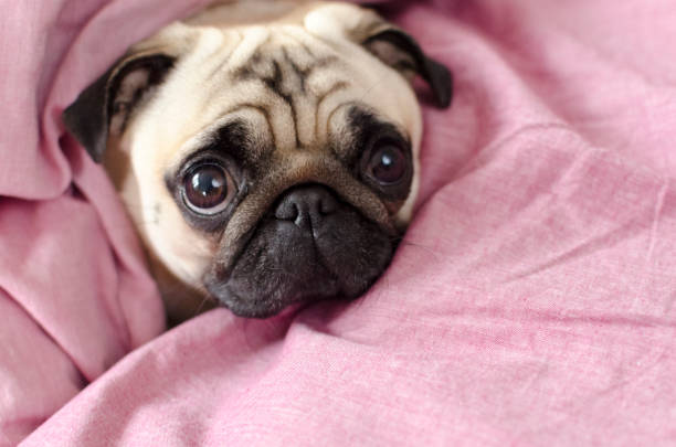 cute dog breed pug  wrapped in  pink blanked stock photo