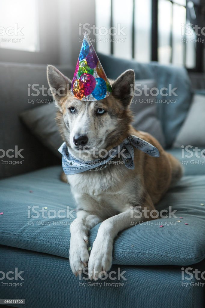 Cute dog celebrating his bithday stock photo