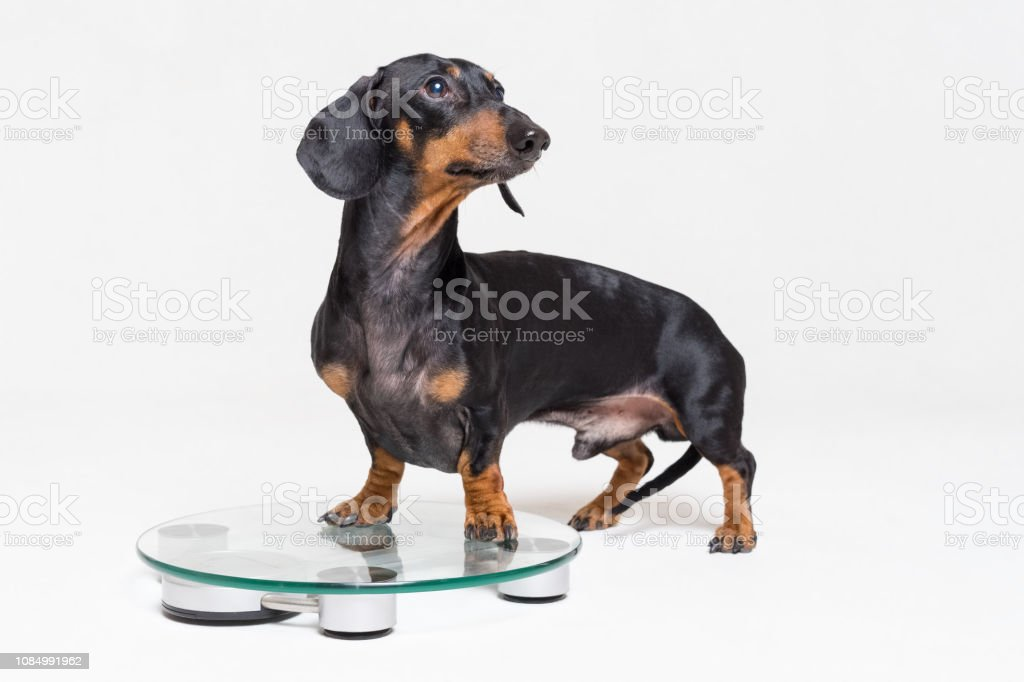 cute dog dachshund, black adn tan, on a glass scales, isolated on gray background stock photo
