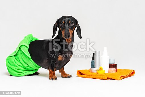 istock cute dog dachshund, black and tan, wrapped in a green towel, after showering with a rubber yellow duck, cans of shampoo, bathroom accessories, isolated on a gray background 1144407458