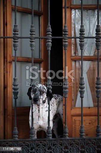 cute dog dalmata behind bars looking at you through the window