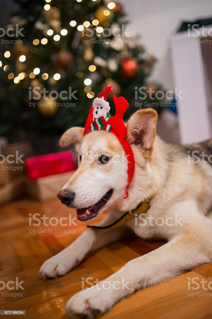 Cute Dog Dressed Up For The Holidays Stock Photo More Pictures Of