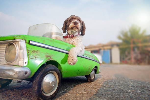 cute dog driving small retro car - eccentrico foto e immagini stock
