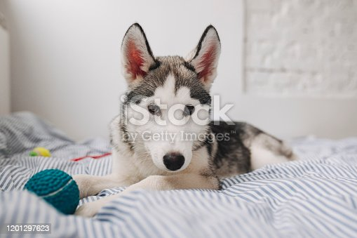 Portrait of adorable Siberian Husky puppy lying on bed and looking at camera.