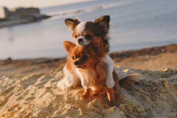 Cute dog family concept mother chihuahua embrace her happy puppy with picture id1141142947?b=1&k=6&m=1141142947&s=612x612&w=0&h=tfftx6zuf wwtmhti5f8zazszyia0sc4yrcagxqrkoq=