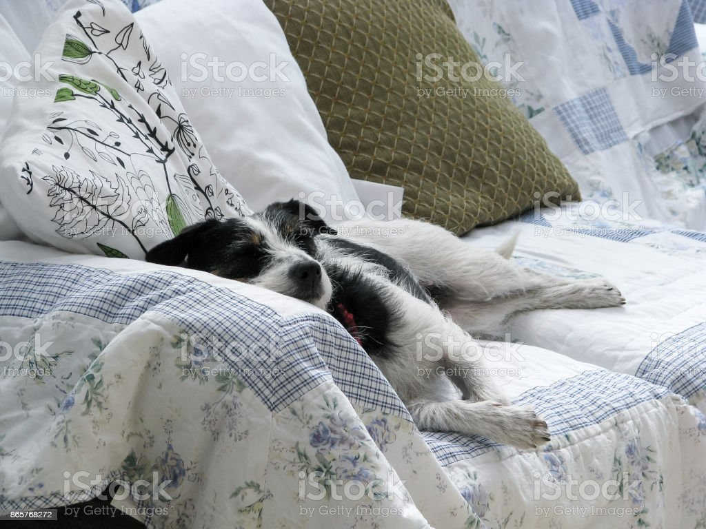 Cute dog fast asleep on couch in natural sunlight. stock photo