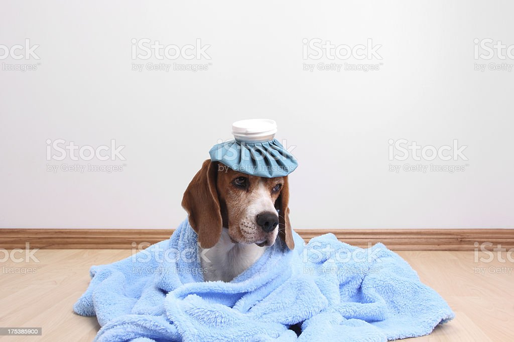 Cute Dog Feeling Sick stock photo