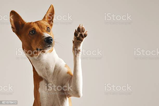 Cute dog giving his paw picture id621578412?b=1&k=6&m=621578412&s=612x612&h=vv4wlbzn vw4hnsvv 425dxdijgfnyemlr2m3dqxvgq=