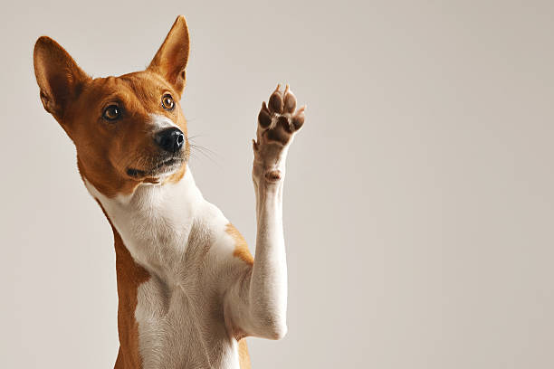 Cute dog giving his paw Adorable brown and white basenji dog smiling and giving a high five isolated on white paw stock pictures, royalty-free photos & images