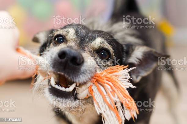 Cute dog growls and gnaws the rope picture id1143703655?b=1&k=6&m=1143703655&s=612x612&h=oi9fxxwqd95zllxqnpn3v7zg7zoapxqiropvm3 no9m=