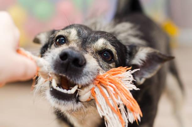 niedlicher hund knurrt und gnädig das seil - spielerfrauen stock-fotos und bilder