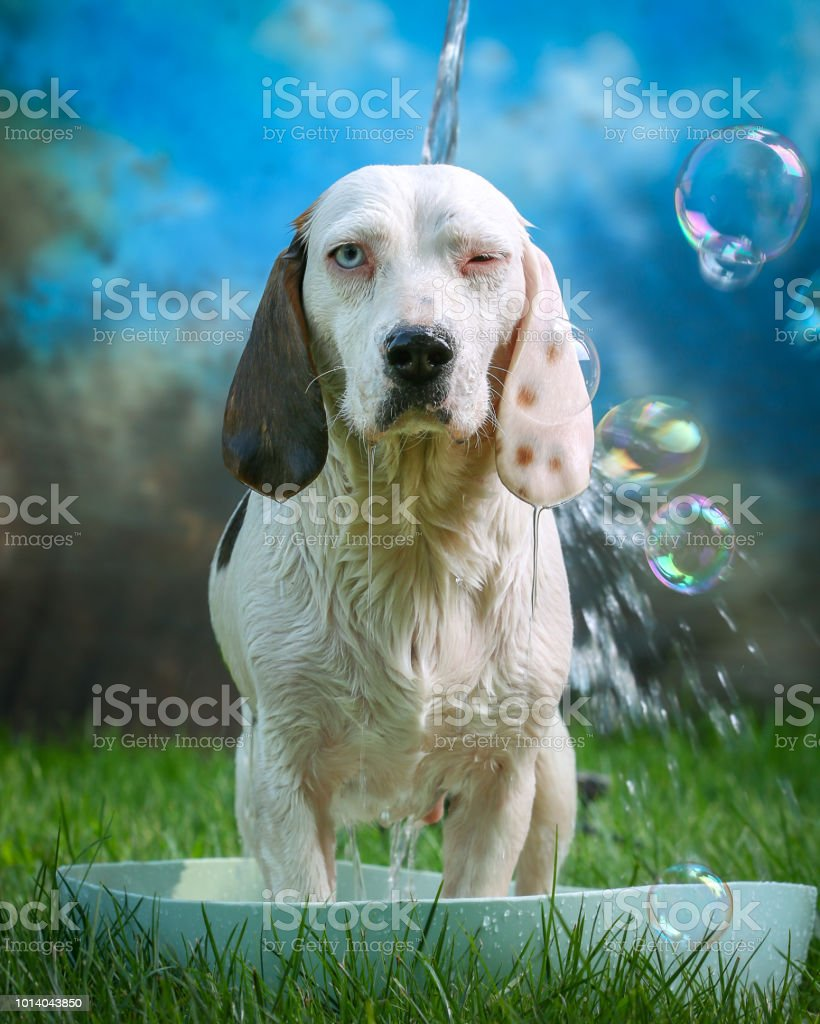Cute dog having bath in summer with sponge and soap stock photo
