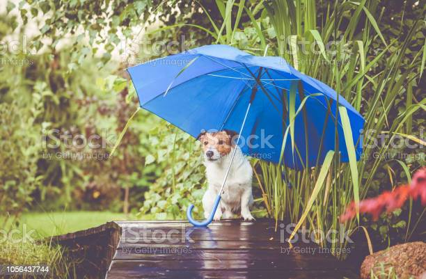 Cute dog hidings from rain under blue umbrella on wet wooden bridge picture id1056437744?b=1&k=6&m=1056437744&s=612x612&h=vt7o3v7kvuyezjc keb4vzu9blgt2fhlmuoxlbwrgzg=
