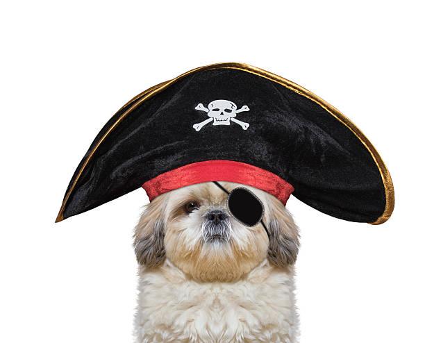 cute dog in a pirate costume stock photo