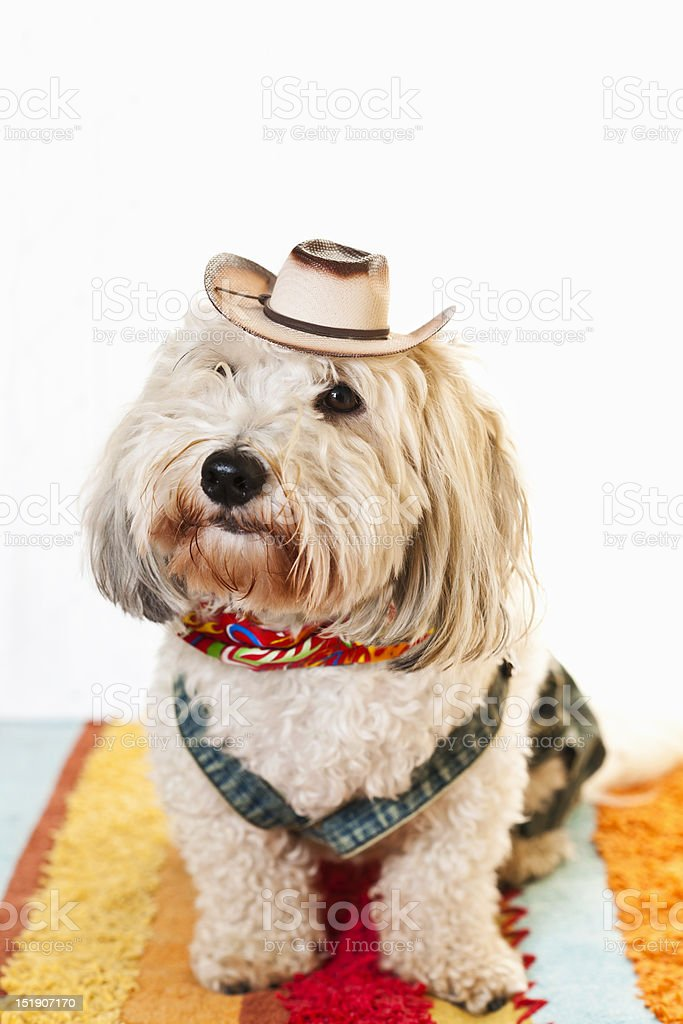 Cute dog in cowboy costume royalty-free stock photo