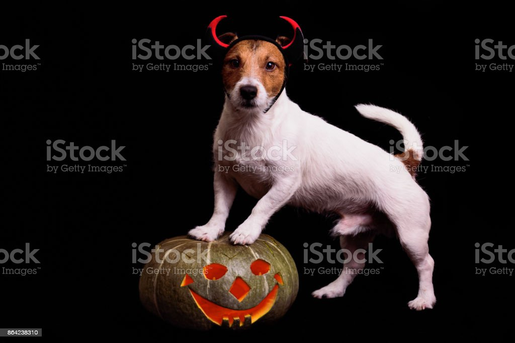 Cute dog in devils costume standing on Halloween pumpkin royalty-free stock photo