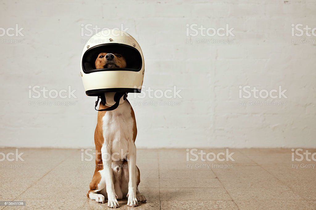 Cute dog in motorcycle helmet stock photo