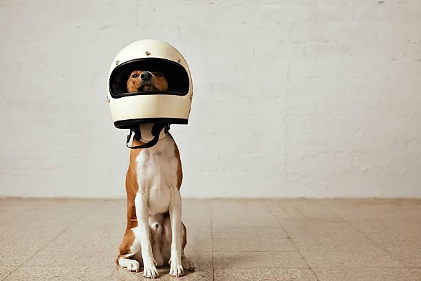 Cute dog in motorcycle helmet stock photo