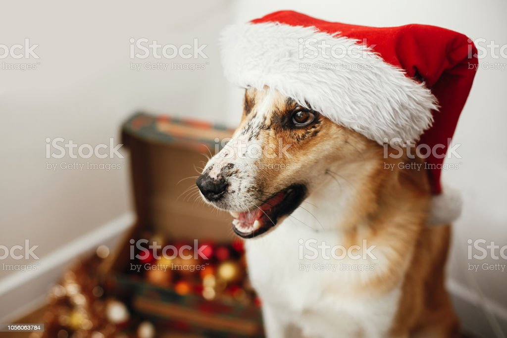 3df8fc261b6 Cute dog in santa hat with adorable eyes and funny emotions sitting in  festive room. Merry Christmas concept. Sweet golden doggy. Atmospheric  image.