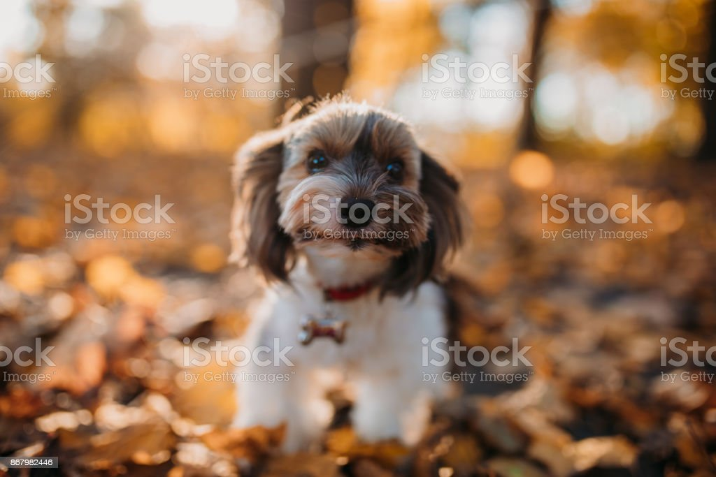 Cute dog in the autumn leaf. biewer yorkshire terrie stock photo